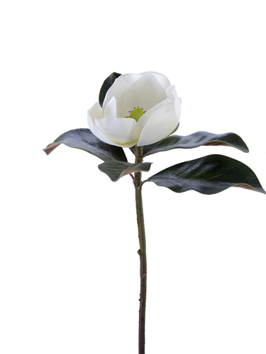 """Picture of 27"""" SOUTHERN MAGNOLIA STEM"""