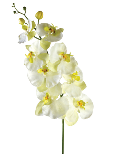 "Picture of 40"" PHALAENOPSIS W/ 8  BLOOMS"