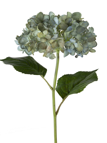 """Picture of 21"""" MOPHEAD HYDRANGEA"""