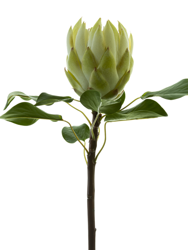 """Picture of 26"""" KING PROTEA L"""