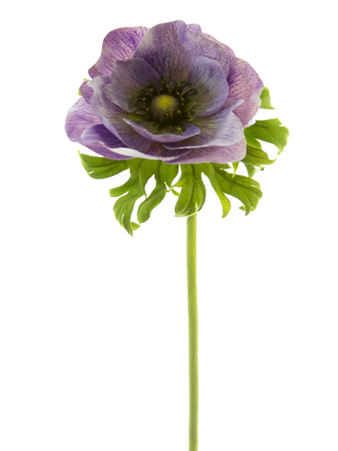 """Picture of 22"""" POPPY ANEMONE STEM"""
