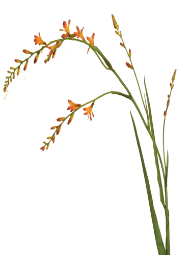 "Picture of 39"" MONTBRETIA"