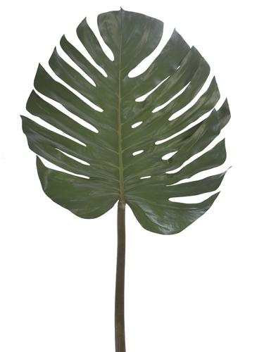 """Picture of 55"""" MONSTERA LEAF"""