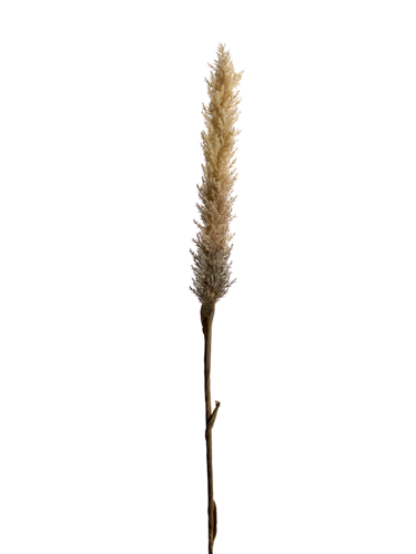 """Picture of 42"""" DRIED FOX TAIL STEM"""