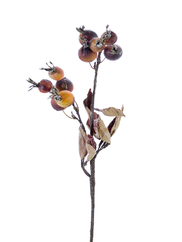 """Picture of 19"""" DRIED ROSE HIPS"""