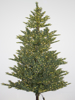 Picture of 5.5' BLACK SPRUCE TREE