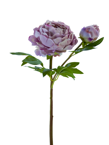 "Picture of 26"" HEIRLOOM PEONY X1F1B"
