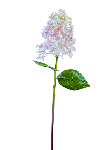 """Picture of 25"""" ANNABEL HYDRANGEA"""