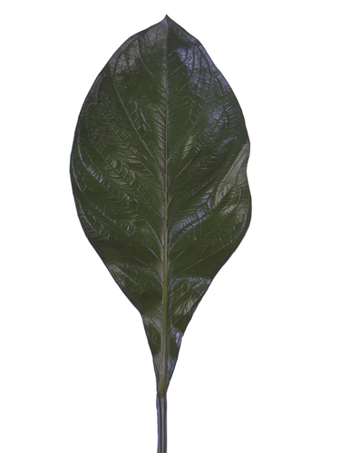 """Picture of 29"""" CANNA LEAF"""