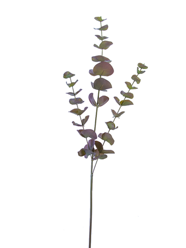"""Picture of 34""""SPRIRAL EUCALYPTUS SP"""