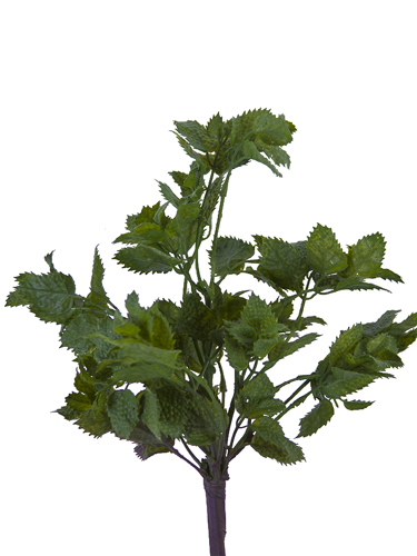 """Picture of 14"""" MINT PLANT"""