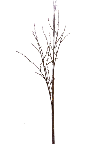 """Picture of 65.5"""" BIRCH BRANCH"""